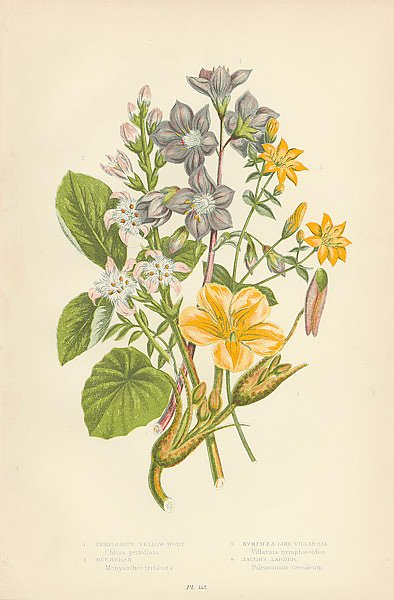 Perfoliate Yellow-wort, Buckbean, Nymphea-like Villarsia, Jacob's Ladder 1