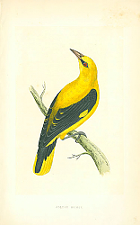 Постер Golden Oriole 1