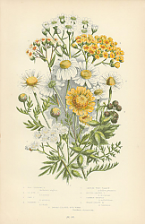 Постер Sea Chamomille, Ox-eye c., Corn c., Stinking c., Sneeze-wort Yarrow, Dotted-leaved y., Common-milfol 1