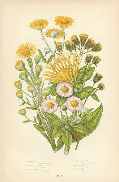 Elecampane, Ploughmans Spikemards, Golden Samphire, Common Flea Bane, Smallflea Bane, Common Daisy 1