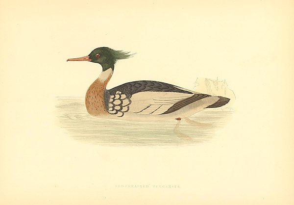 Red-Breasted Merganser 4
