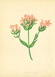 Постер Common Centaury 1