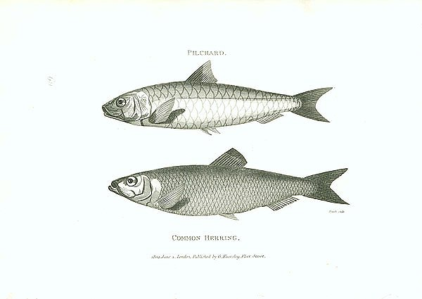 Pilchard, Common Herring